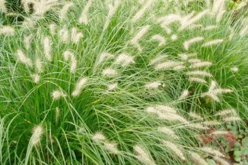 Grasses Featured Image