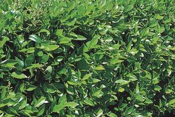 Shrubs Featured Image