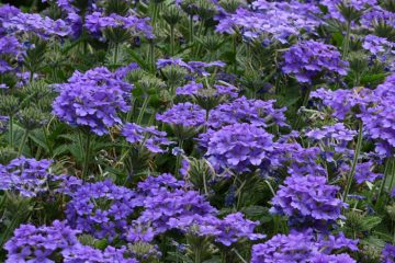 Perennials Featured Image